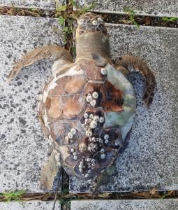 Tartaruga spiaggiata a Gabicce Mare