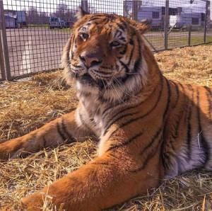 Una tigre del circo (Foto tratta dalla pagina Facebook Nando Orfei)