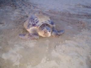La tartaruga Luciana