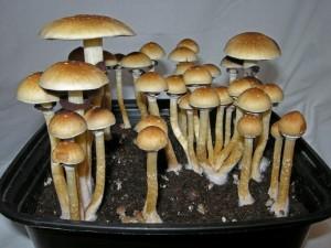 Funghi allucinogeni del tipo 'psylocybe cubensis' (foto di repertorio)