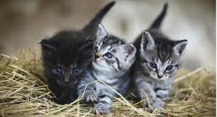 Conosciuto Gattini cuccioli: come risolvere il problema delle pulci? SI02